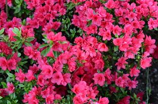 blossoms2